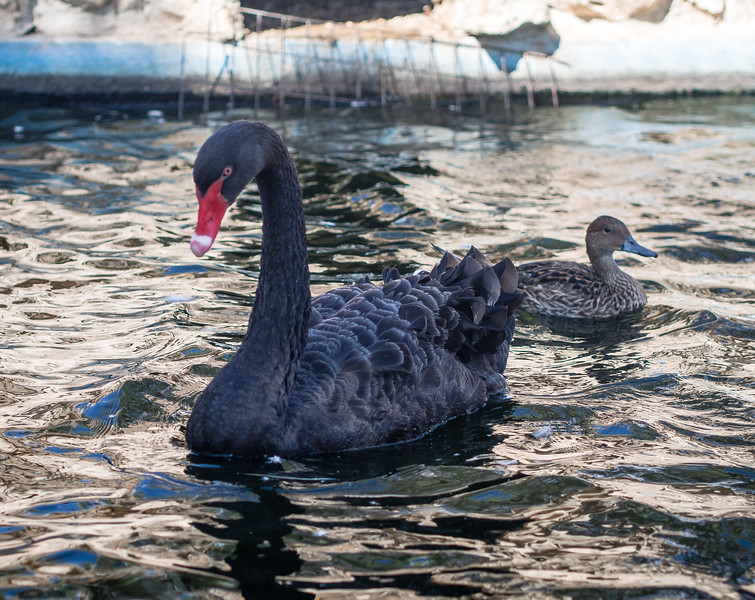 Black swan in Melios Zoo
