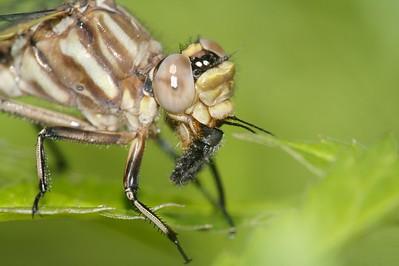 dragonflies to sort