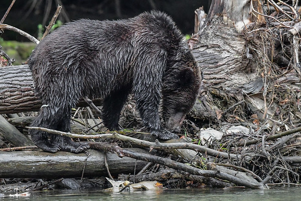 9-20-17 Bella Coola - Single Grizzly Fishing