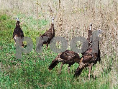 scientists-tumorcausing-virus-widespread-in-wild-turkeys