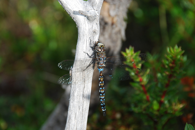 Dragonfly, Chile, Patagonia