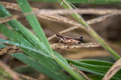 Grasshopper, Silent Slant-faced