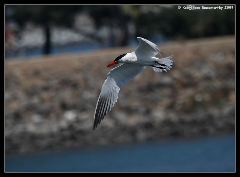 Caspian Tern, Robb Field, San Diego County, California, August 2009