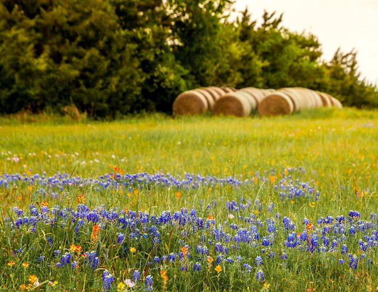 2016_4_9 Texas Wildflower Shoot-8550.jpg
