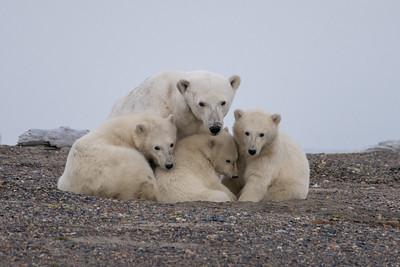 Polar Bears in the High Arctic