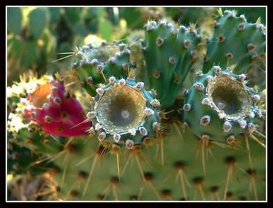 Cacti in Provence