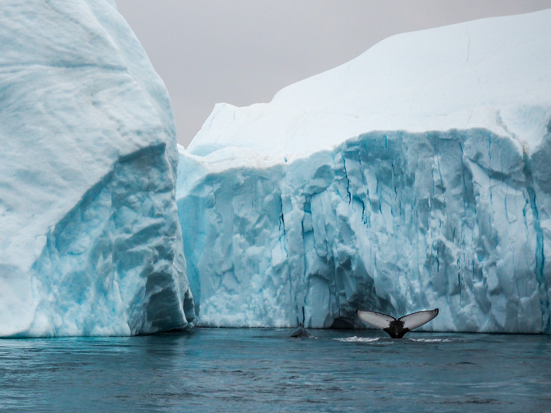 Whales at the Ilulissat Icefjord