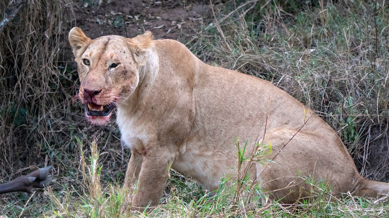 Tanzania-Serengeti-National-Park-Safari-Lion-01.jpg