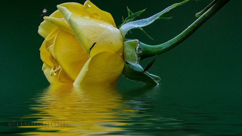 yellow rose 3673 to 3679.jpg