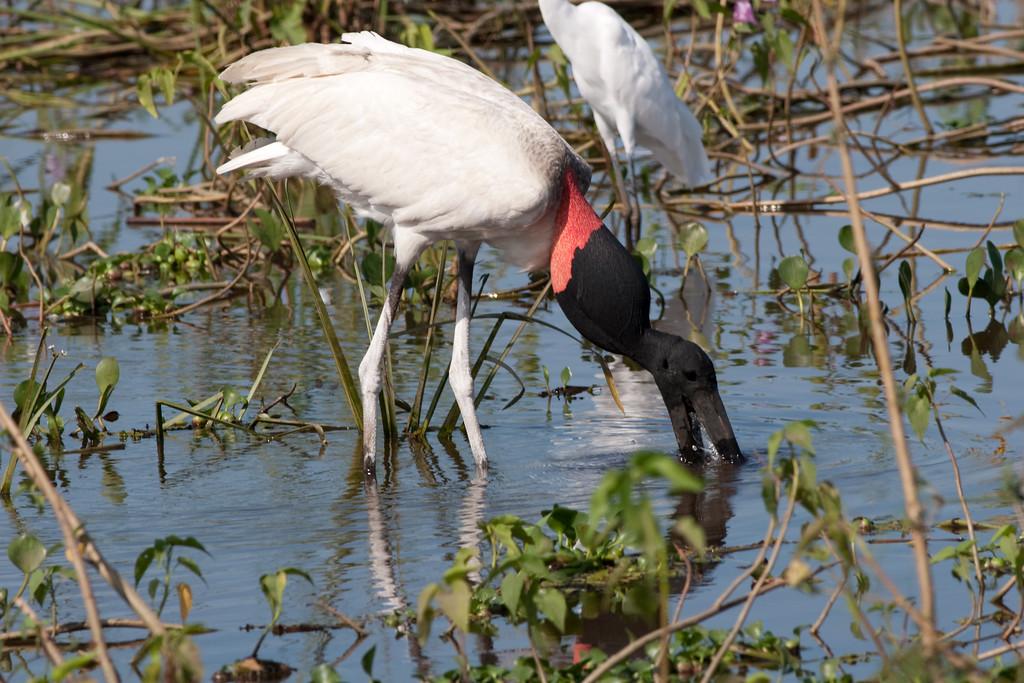 Jabiru Stork Pant_06-08-13_0042