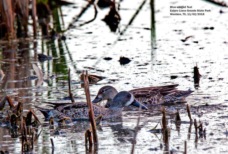 IMG_8870 3T Blue-winged Teal pair Estero Llano Grande State Park.jpg