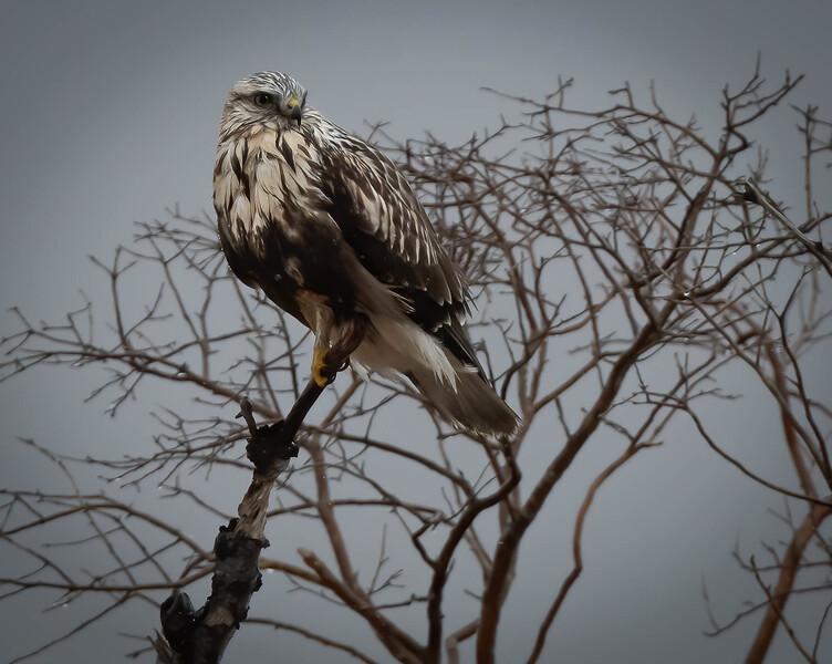 Rough-legged Hawk perch coy
