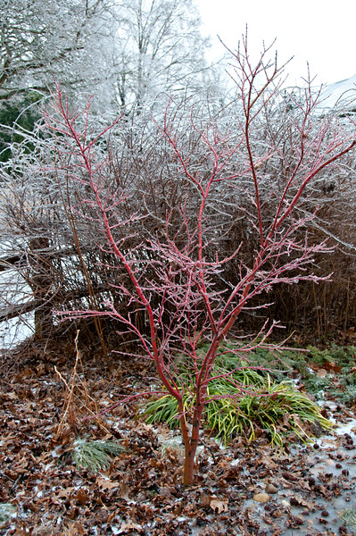 Acer palmatum Sango kaku...just hoping it isn't resentful from being iced over