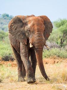 Rusty Elephant