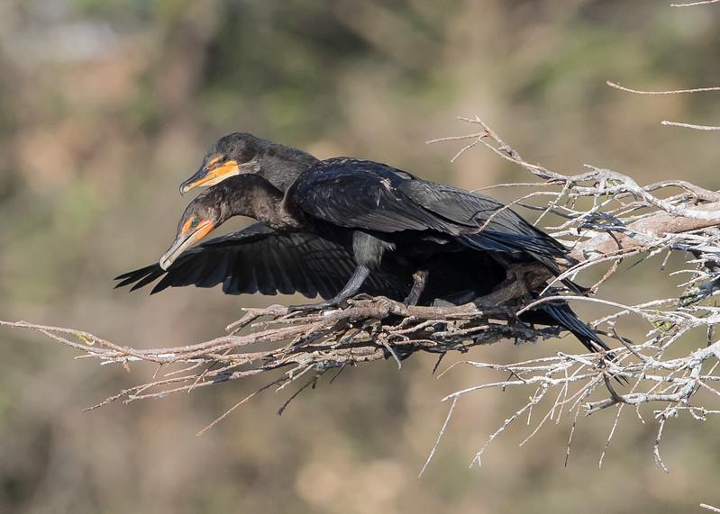 Cormorants Breeding-5557.jpg