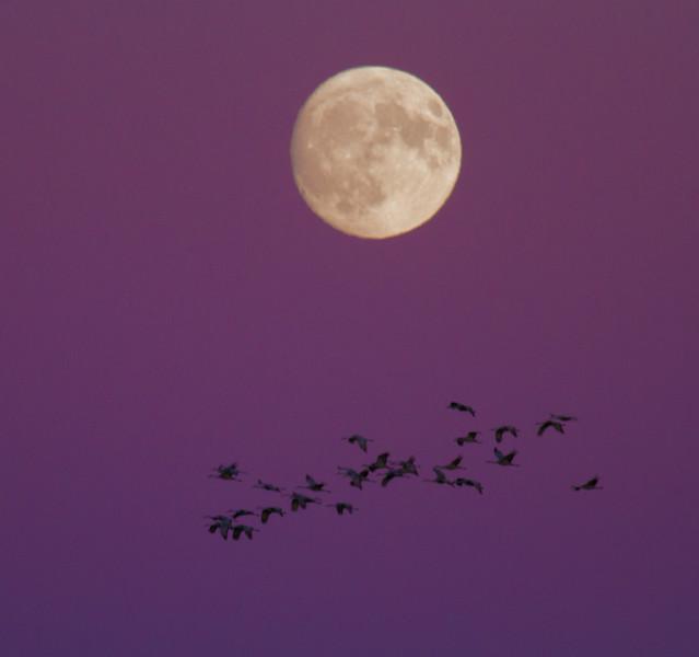 Sandhill Crane full moon fly in flight Crex Meadows Grantsburg WI IMG_2092.jpg