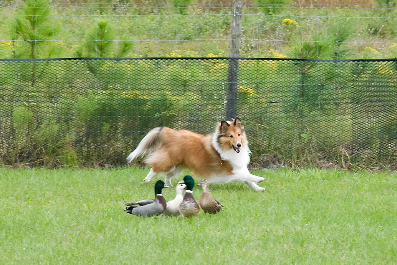 #450 (Saturday) - Clay's Just In Tyme, a Shetland Sheepdog, competed on the Course A, Intermediate level with ducks.  Justin is owned by Marlie & Michael Clay.