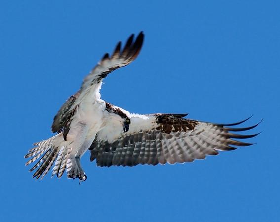 Hawk / Falcon