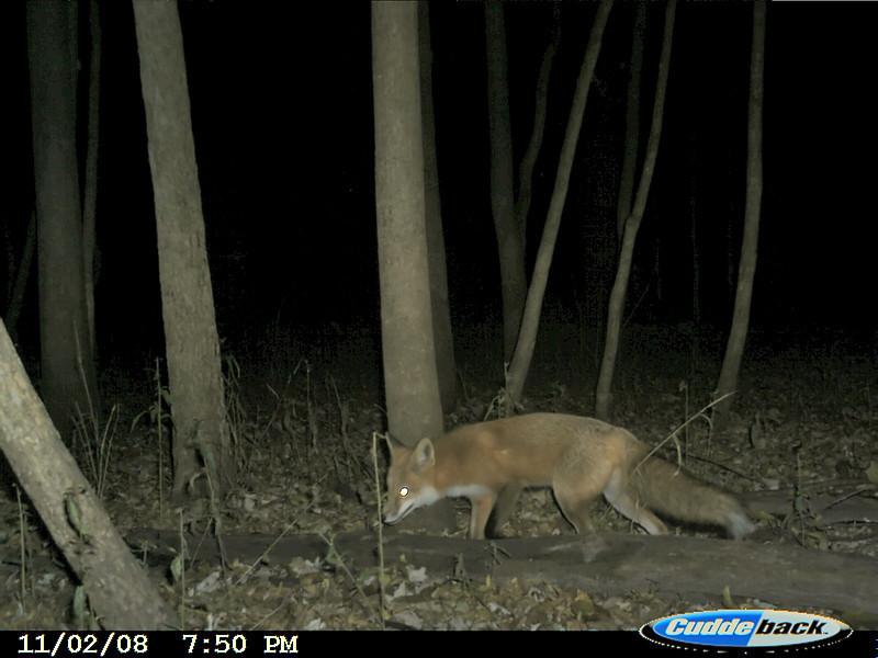 a fox made several visits to the offal