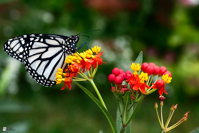 White Monarch Butterflies - Sept 2015