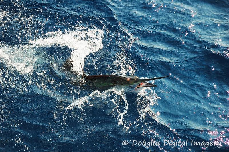 sailfish8.jpg