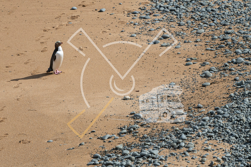 Yellow-eyed penguin active on the sand of Bushy beach in New Zealand
