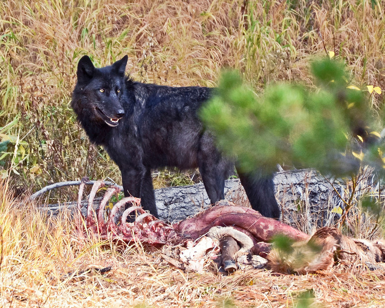 Black Canyon Pack Wolf on Elk carcus, Yellowstone National Park