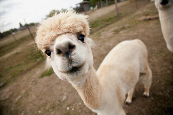 Meet the Alpacas!