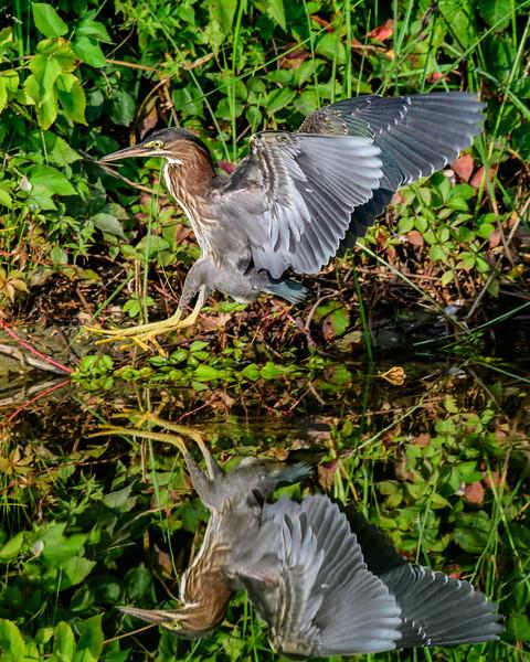 Green Heron-3519.jpg