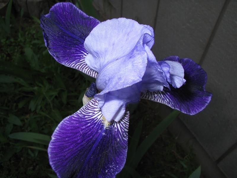 06_10_06 Ruth's Iris