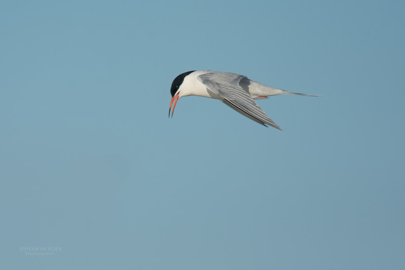 Roseate Tern, Lady Elliot Island, QLD, Dec 2015-13.jpg