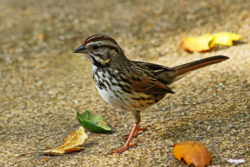 Song Sparrow ~ True to his name, this sparrow was singing happily in the shrubbery at Descanso Gardens, and then popped out to hop around, seed-hunting, in the walkway.  He paused a couple of times for his picture to be taken