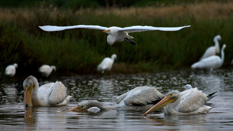 American White Pelicans and Egrets