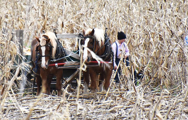 02 Corn stalks-Roper Image 2 .jpg