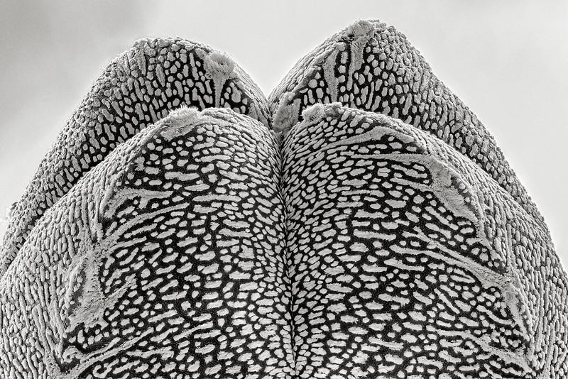 astrophytum myriostigma 'onzuka' quadricostatum