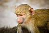 Photograph of a young baboon riding on it's mothers back. Photography fine art photo prints print photos photograph photographs image images artwork.