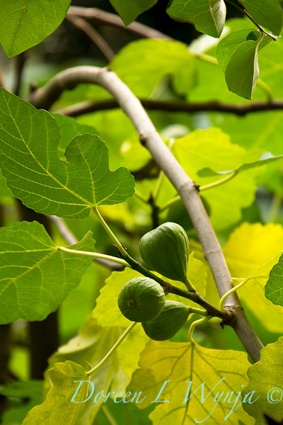 Ficus carica Desert King_002