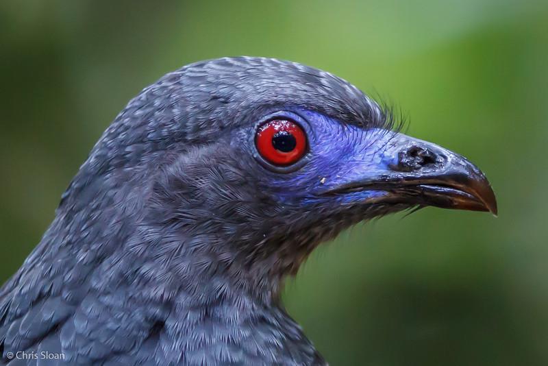 Sickle-winged Guan at Refugio Paz de las Aves, Ecuador (03-06-2014) 029-69.jpg