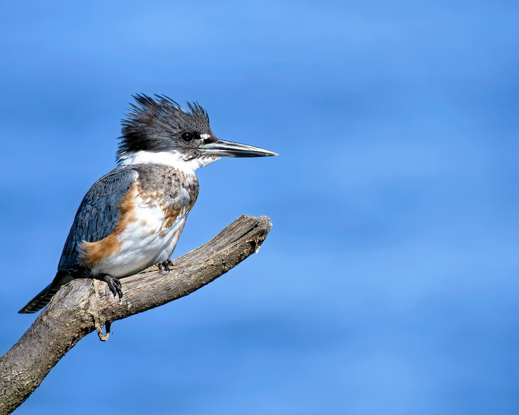 Kingfisher_DSC_9711.jpg