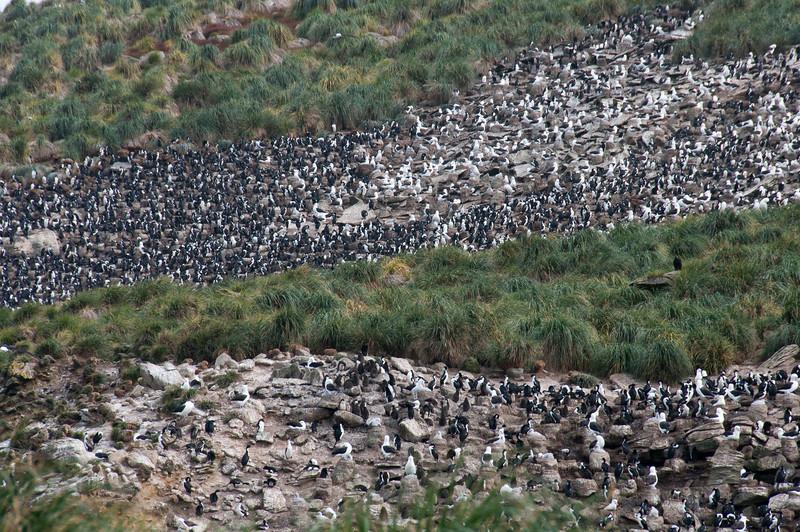 Penguins in New Island, Falkland Islands