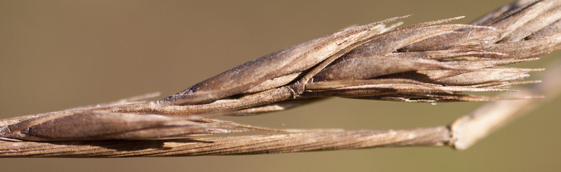 Elymus triticoides