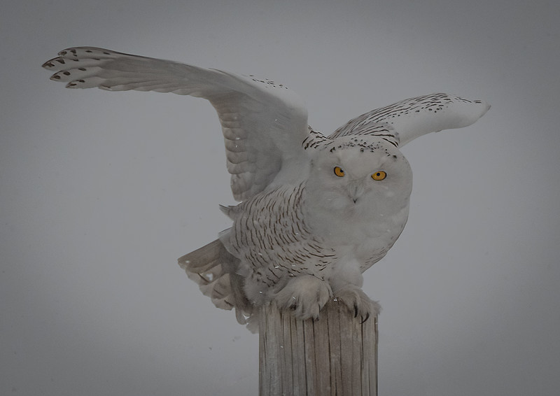 DSC_4600-Edit Snowy Owl DB moments rest.jpg