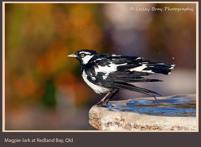 Flycatchers, Monarchs & Magpie Larks