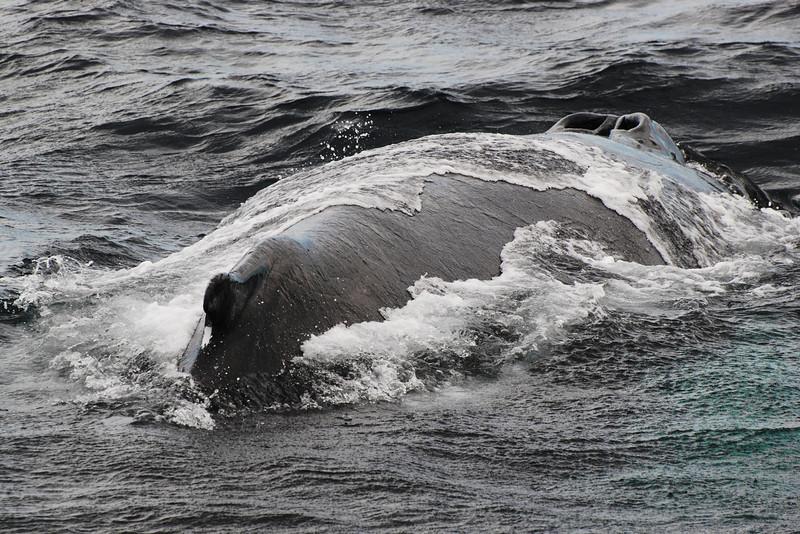 Baleine (rorqual) à bosse