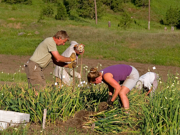 2012 Garlic Harvest.