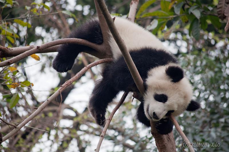 Cup_Panda_Sleeping_On_the_tree_Chengdu_Sichuan_China.jpg