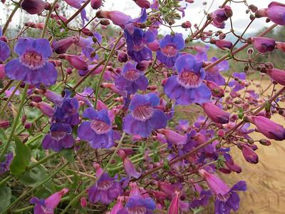 Flowers along the Morton Peak Road 5.29.11