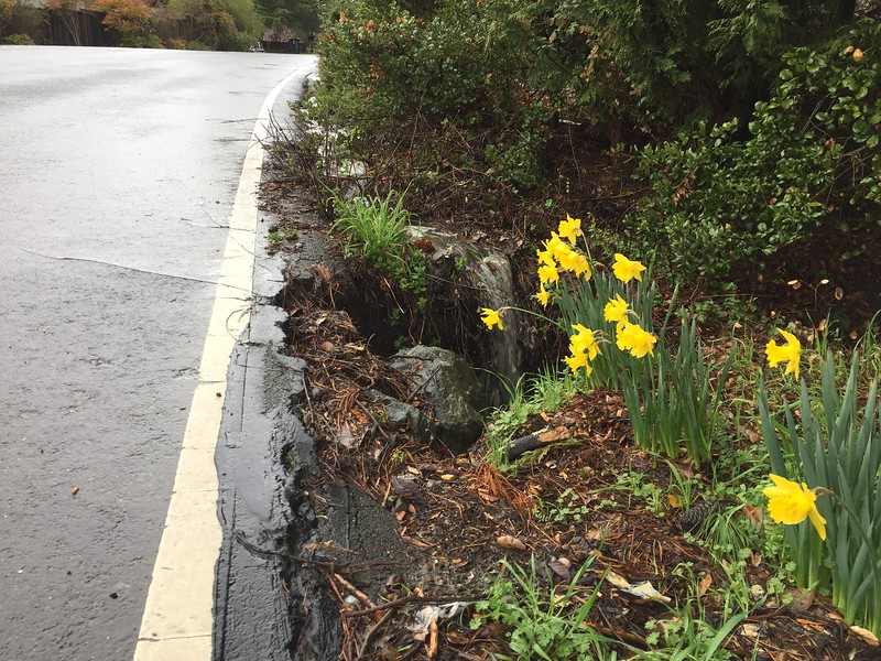 Daffodils next to street gutter