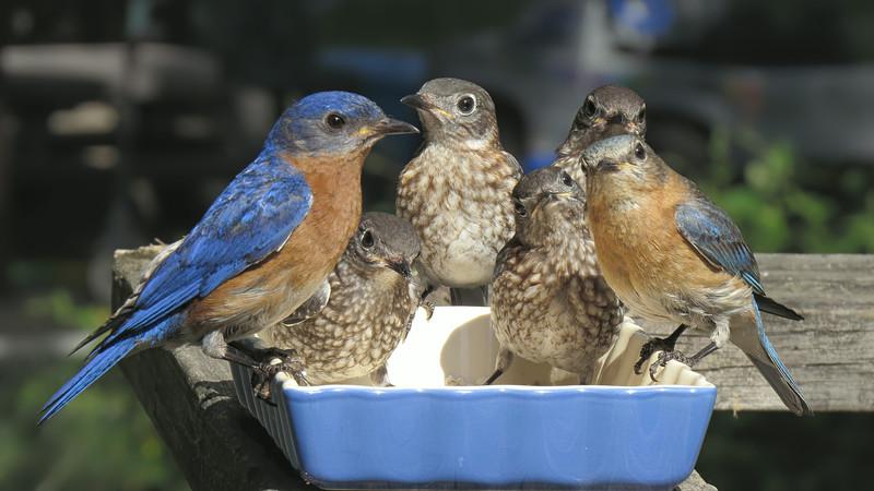sx50_bluebird_ben_faith_fledglings_359.jpg