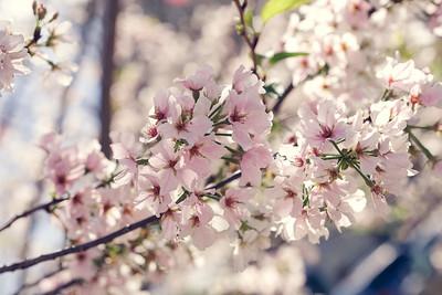 2017_04_02 Cherry Blossom